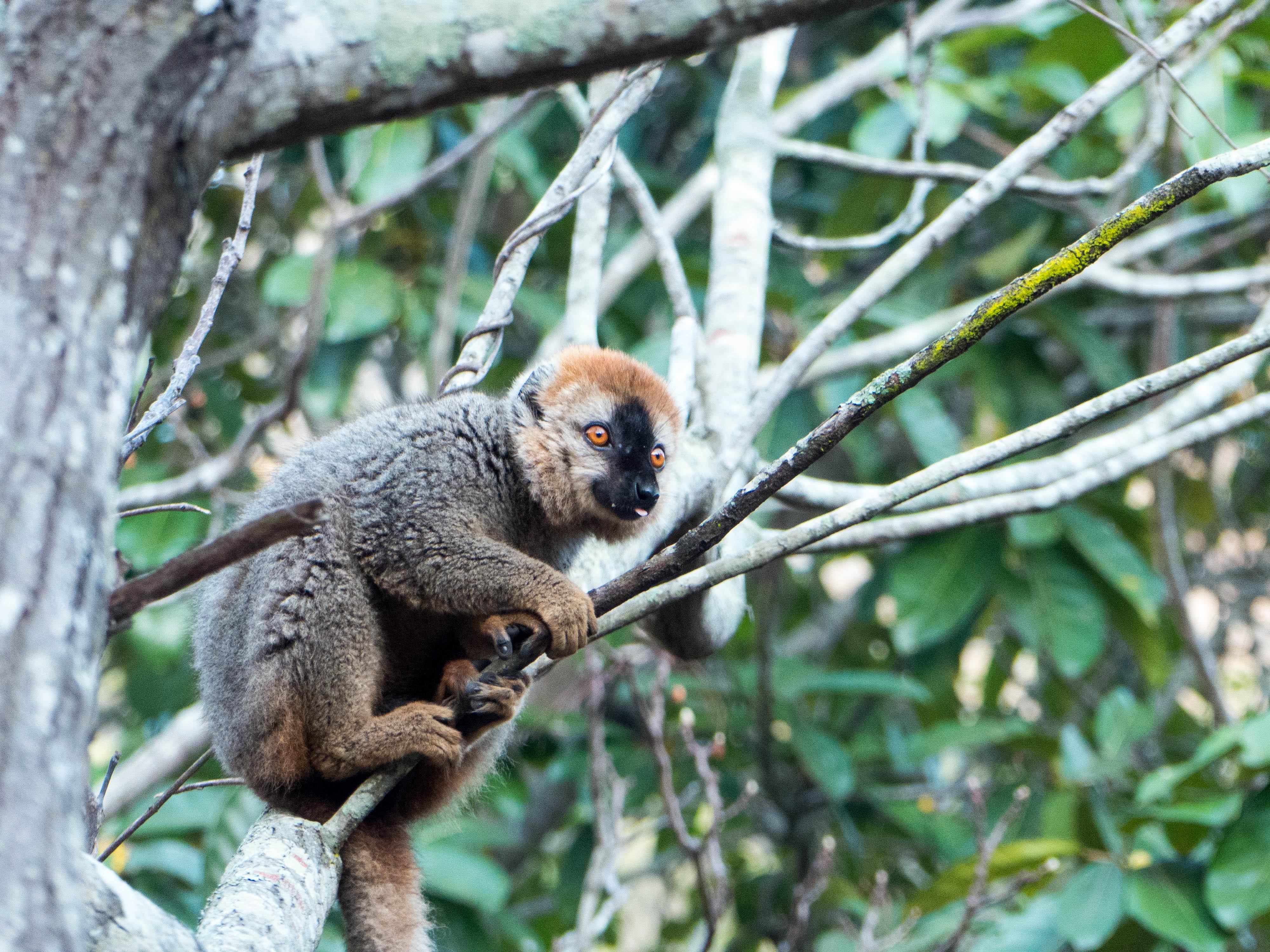 Madagaskar-Isalo-Lemur-mit-Zunge