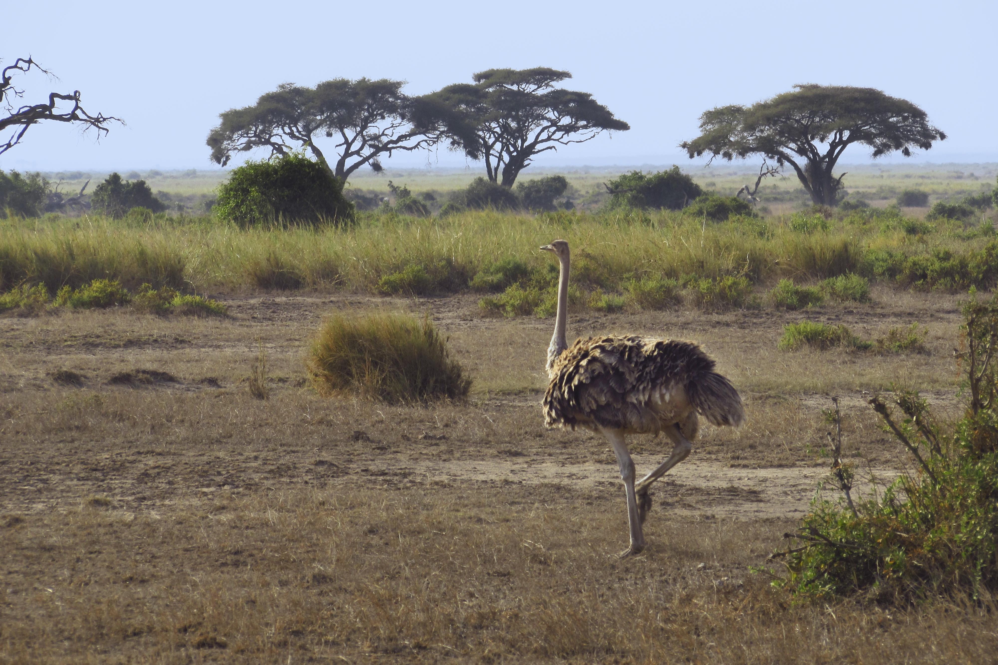 Strauss im Amboseli Nationalpark