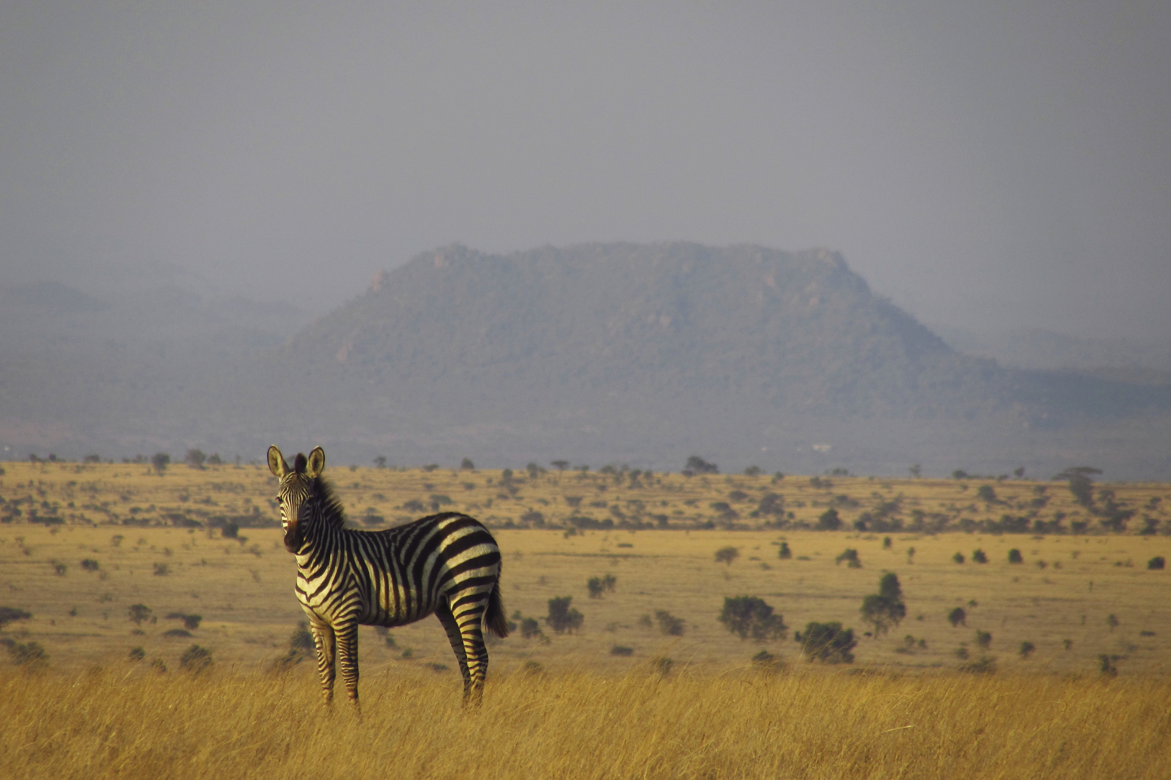 Zebra Savanne
