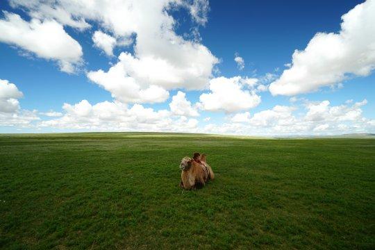 Kamel in der Wüste Gobi