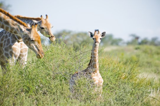 Namibia-Kalahari-Red-Dunes-Lodge-Giraffe