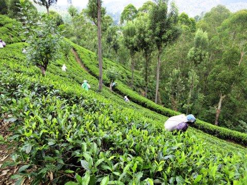 Bandarawela Auf der Teeplantage