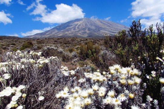 Disteln vor dem Kilimanjaro_2