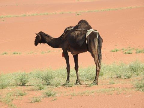 Braunes Kamel in der Rub Al-Khali