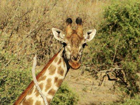 Giraffengesicht vorne