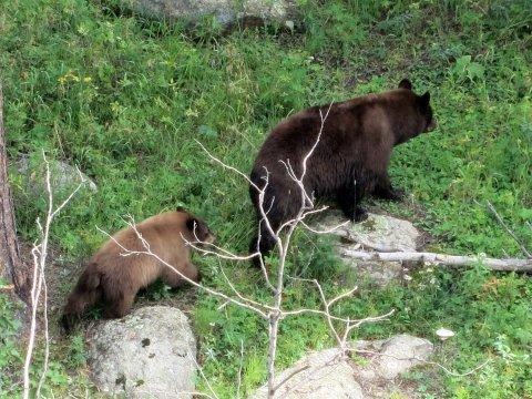 USA-Grand-Teton-Bär-mit-Jungem