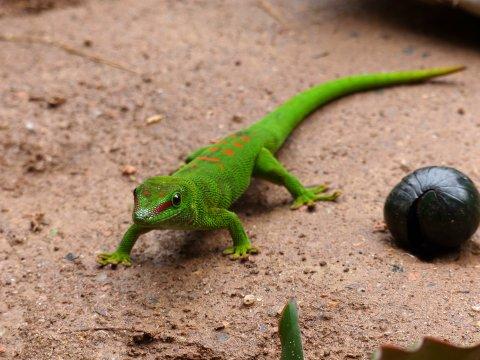 Madagaskar-gruener-Gecko