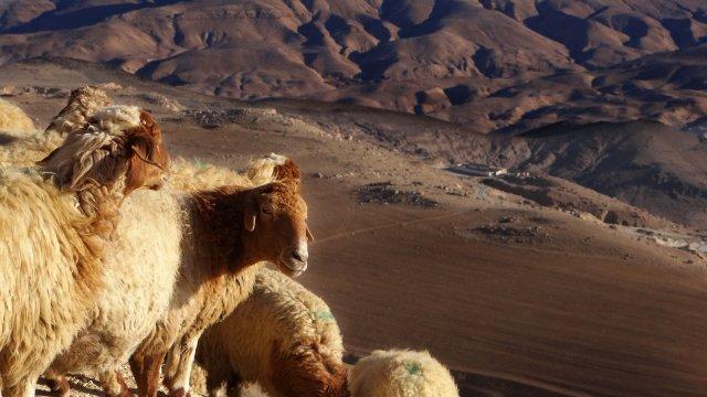 Berg-Schafe im Beduinenland