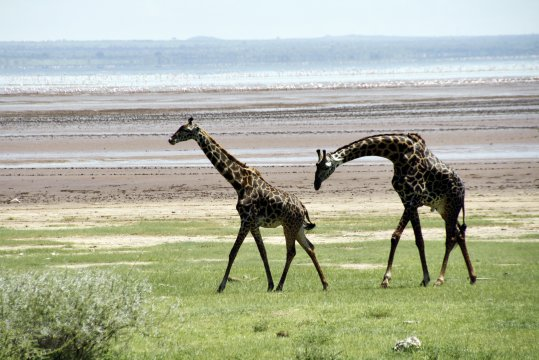 Giraffen im Lake Manyara Nationalpark