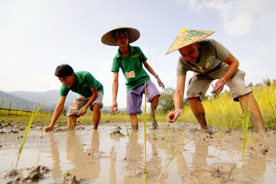 Reispflanzen in Laos