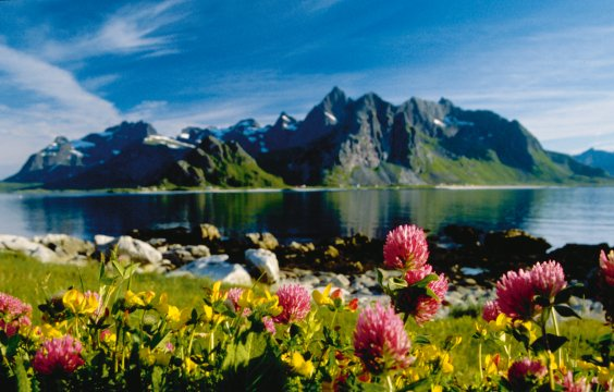 Blüten der Lofoten