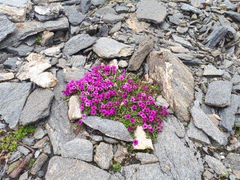 sterreich-Alpen-Blumen-Lila
