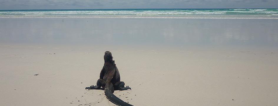 _AMS_IWI_Galapagos_Leguan_5