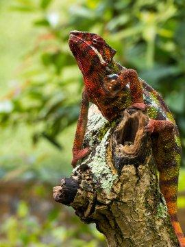 Madagaskar-Chamaeleon-auf-Baum
