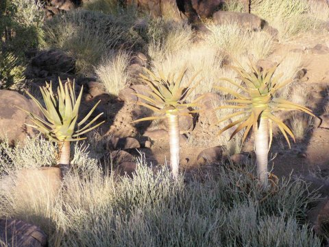 Kaktuspflanzen