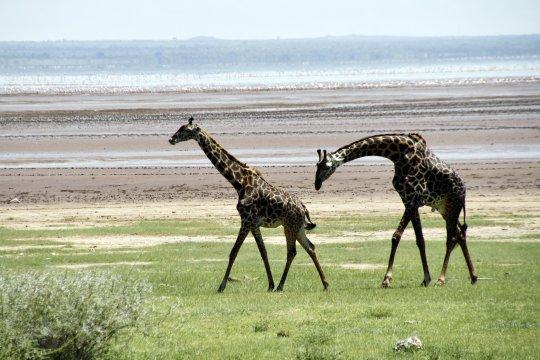 Giraffen in Manyara