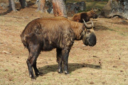 Der Takin - Nationaltier von Bhutan