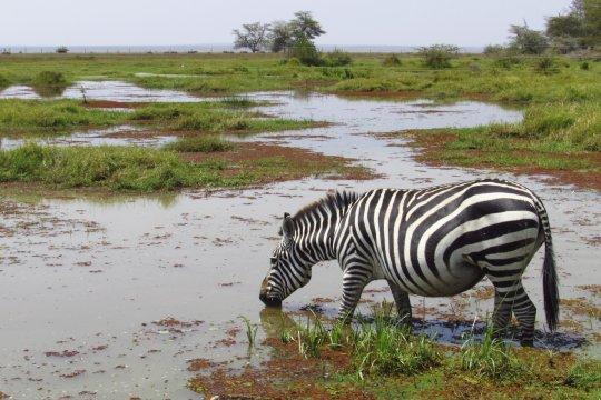 Zebra trinkt im Amboseli Nationalpark