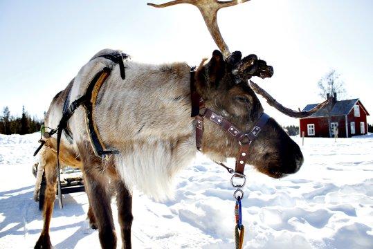 Rentier in schwedisch Lappland