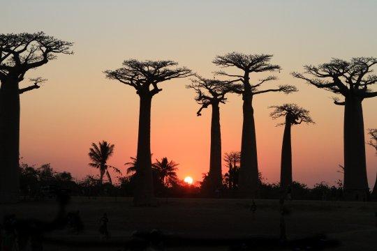 Baobab_Allee_bei_Sonnenuntergang