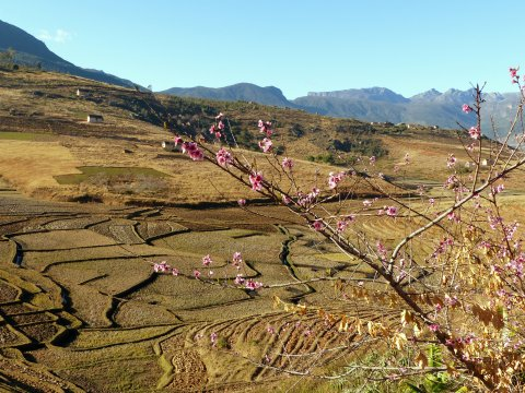 Madagaskar-Kirschbluete-Felder