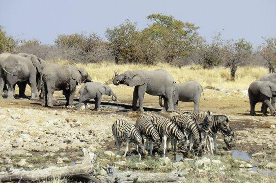 Elefanten Zebras Etosha