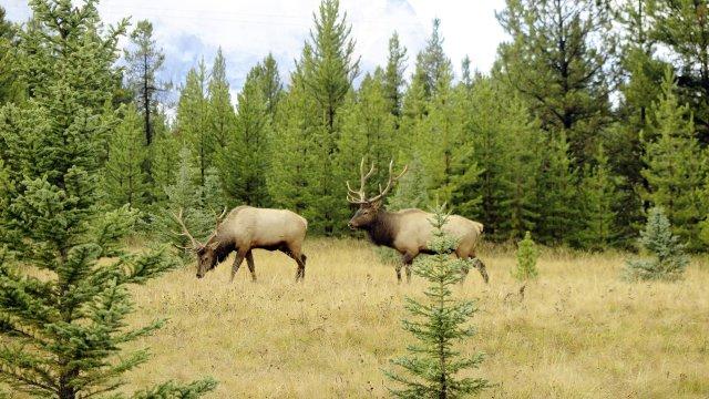 Wapiti Banff Nationalpark_2