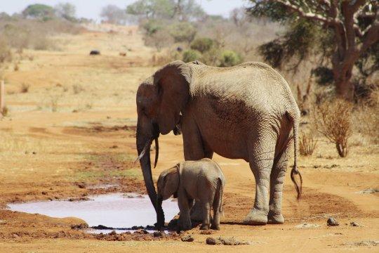 Elefanten auf Wassersuche im Tsavo East NP_2