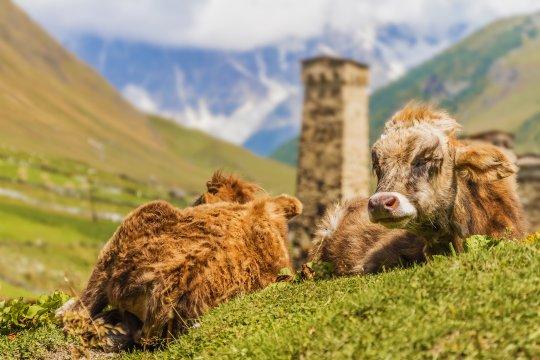 Kühe in Uschguli