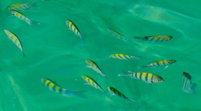 Mussandam, Fische bei Dhaw-Fahrt