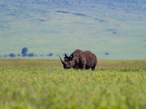 Nashorn in hohem Gras, Tansania