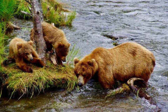 Alaska-brooks-lodge-baerenmutter-mit-juengen