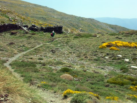Ginster in den Alpujarras
