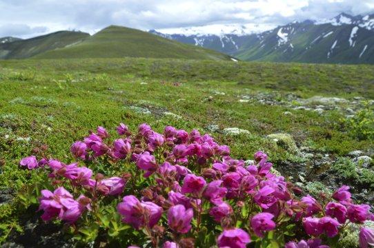 Alaska Blumenwiese_2