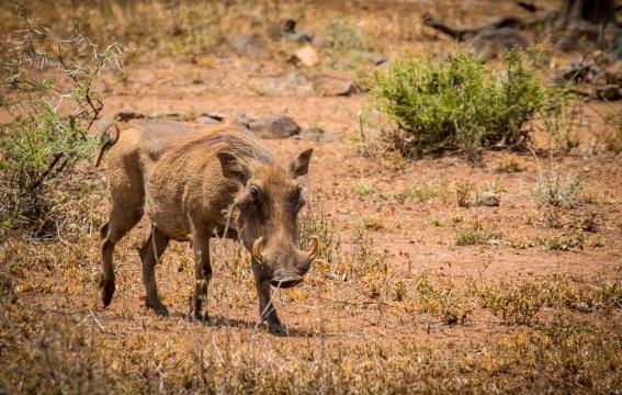 Südafrika-Krüger-Nationalpark-Warzenschwein