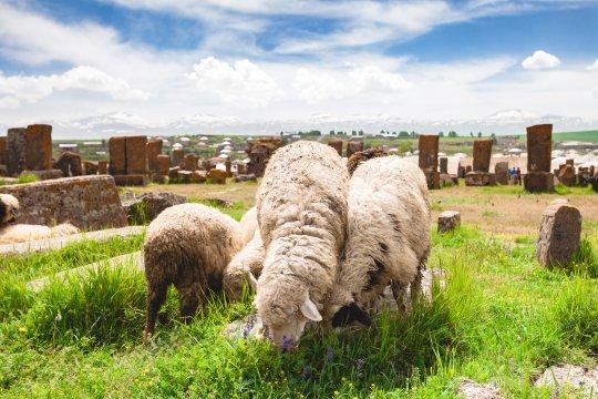 Schafe auf dem Friedhof von Noratus