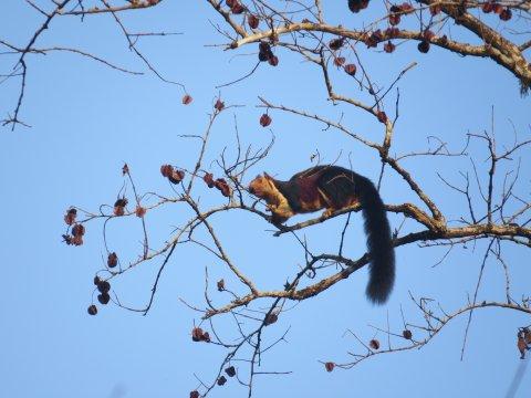 indisches Königsriesenhörnchen