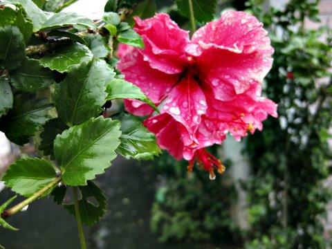 Blume rot_2