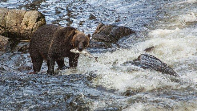 Bär fängt Fisch