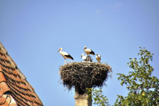 Storchennest in Siebenbürgen