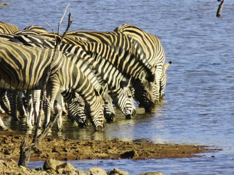 Zebras im Nationalpark