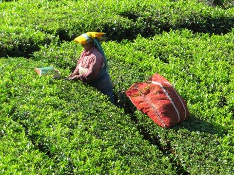 Pflückerin auf einer Teeplantage