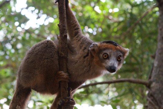 Brauner_Lemur_am_Baum