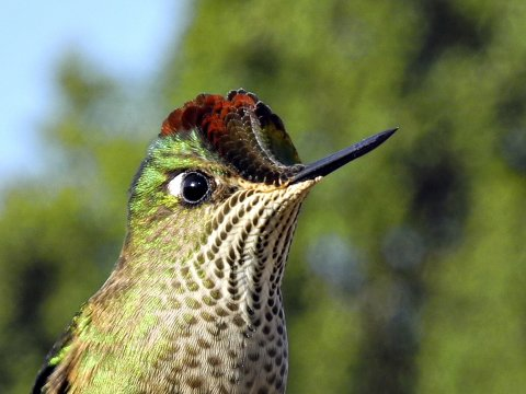 Kolibri_2