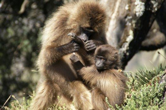 Gelada Baboon Paviane mit Blutherz_2