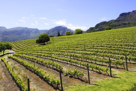 Suedafrika Winelands Stellenbosch Weinberg_2