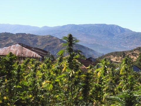 cannabis-im-rif-gebirge