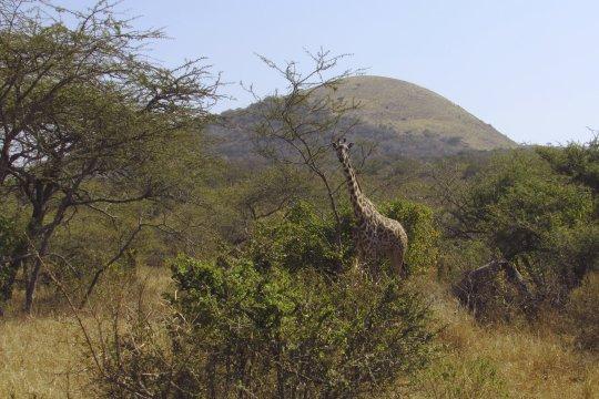 Giraffe Chyulu