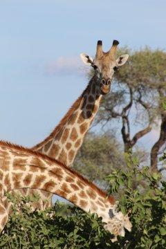 Botswana-Giraffen-Chobe-Nationalpark