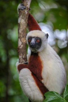 Madagaskar-Sifaka-Plamrium